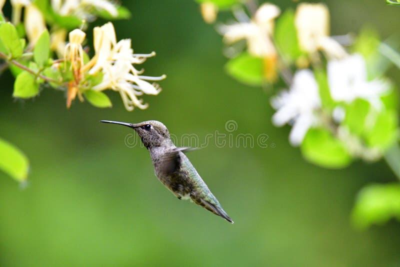 Zbliżenie unosi się blisko niektóre kwiatów Anna hummingbird obraz royalty free