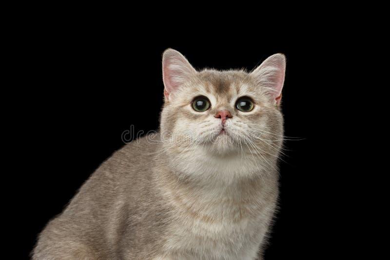 Zbliżenie Uroczy Brytyjski kot z zielonych oczu Przyglądającym up odizolowywającym obrazy stock