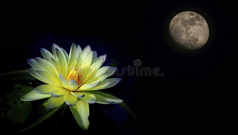 Zbliżenie, waterlily lotosowy kwiat odizolowywający na czarnym tle lub zdjęcie royalty free
