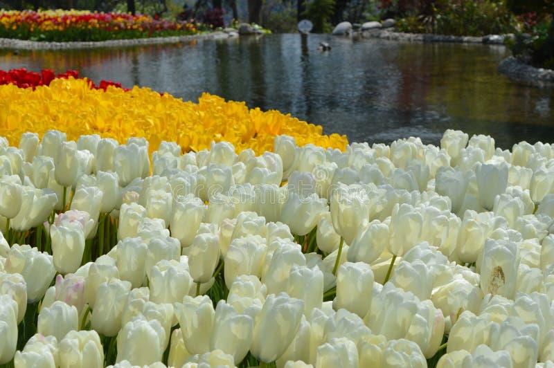 Zbliżenie widok biali, żółci tulipany w i zdjęcie royalty free