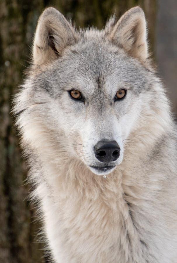 Zbliżenie widok wilka Arktyczna twarz z drooling usta obraz royalty free