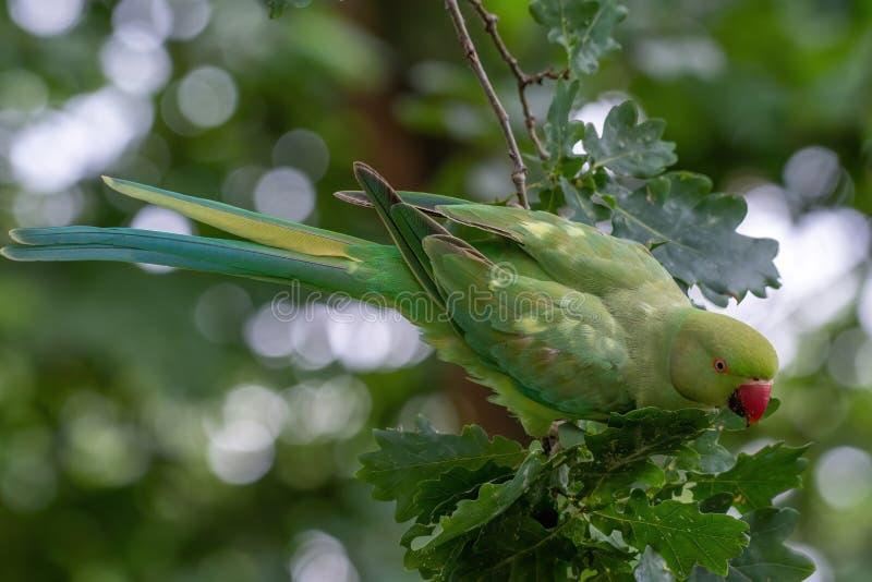 Zbliżenie widok zielony upierścieniony Psittacula krameri parakeet obrazy stock