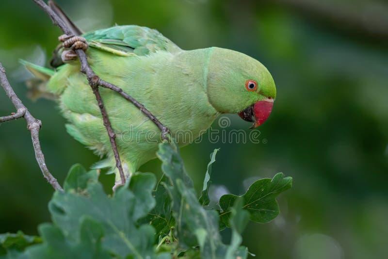 Zbliżenie widok zielony upierścieniony Psittacula krameri parakeet obraz stock