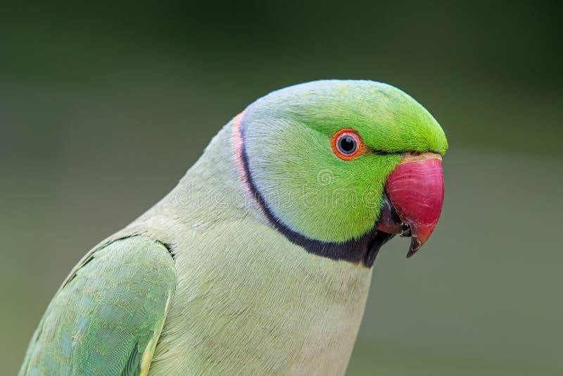 Zbliżenie widok zielony upierścieniony Psittacula krameri parakeet zdjęcia royalty free