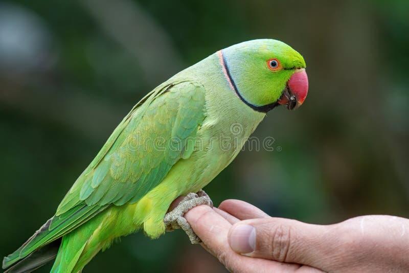 Zbliżenie widok zielony upierścieniony Psittacula krameri parakeet obraz royalty free