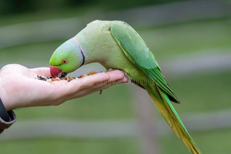 Zbliżenie widok zielony upierścieniony Psittacula krameri parakeet fotografia royalty free