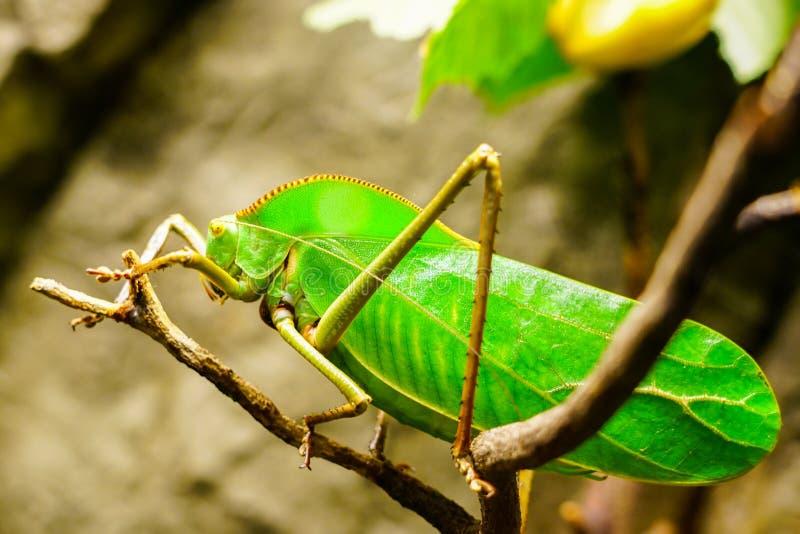 Zbliżenie wielki jaskrawy - zielony gigant Katydid fotografia royalty free