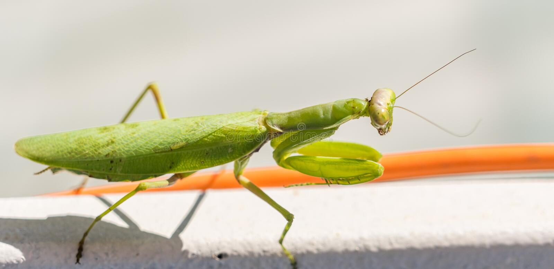 Zbliżenie wielkiej zielonej wargi ( Mantis religiosa ) Sochi, Rosja zdjęcia royalty free