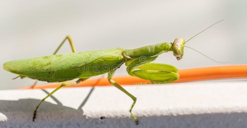 Zbliżenie wielkiej zielonej wargi ( Mantis religiosa ) Sochi, Rosja zdjęcie stock