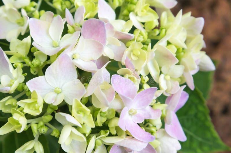 Zbliżenie wiosny purpurowa hortensja kwitnie, selekcyjna ostrość zdjęcia royalty free