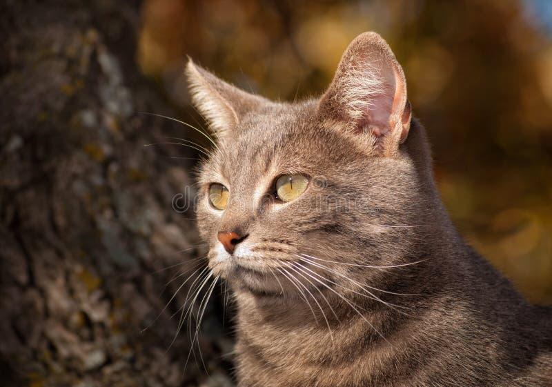 Zbliżenie wizerunek błękitny tabby kot w górę drzewa wewnątrz zdjęcia stock