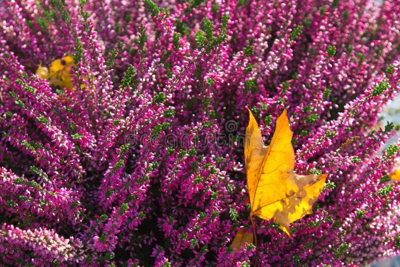 Zbliżenie wrzosów kwiaty obrazy royalty free