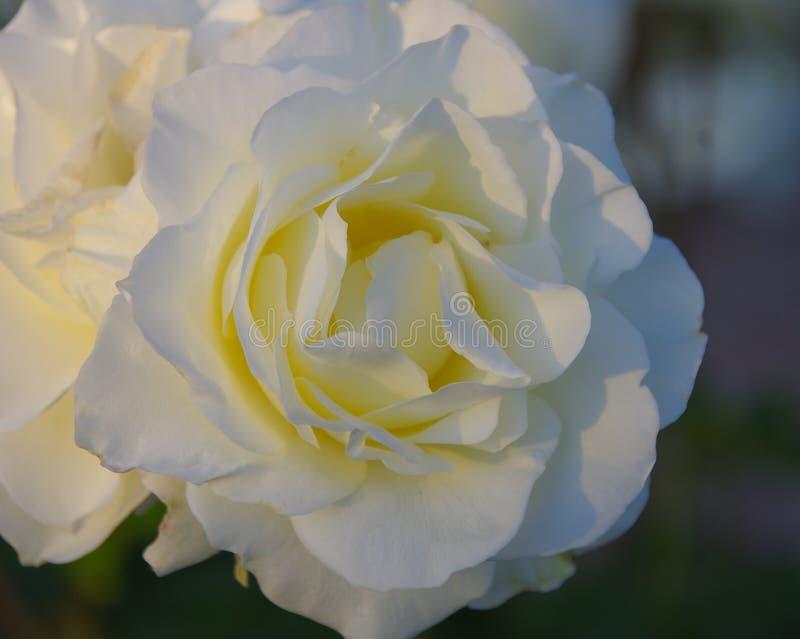 Zbliżenie wspaniały biel róży okwitnięcie zdjęcia stock