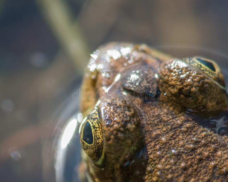 Zbliżenie wyszczególniający portret zielonej żaby głowa i oczy w gubernatora Knowles stanu lesie w Północnym W - wierzchołka pusz obraz stock