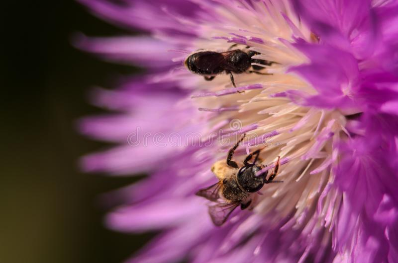 Zbliżenie złote miodowe pszczoły które zapylają kwiatu w ogródzie obrazy stock