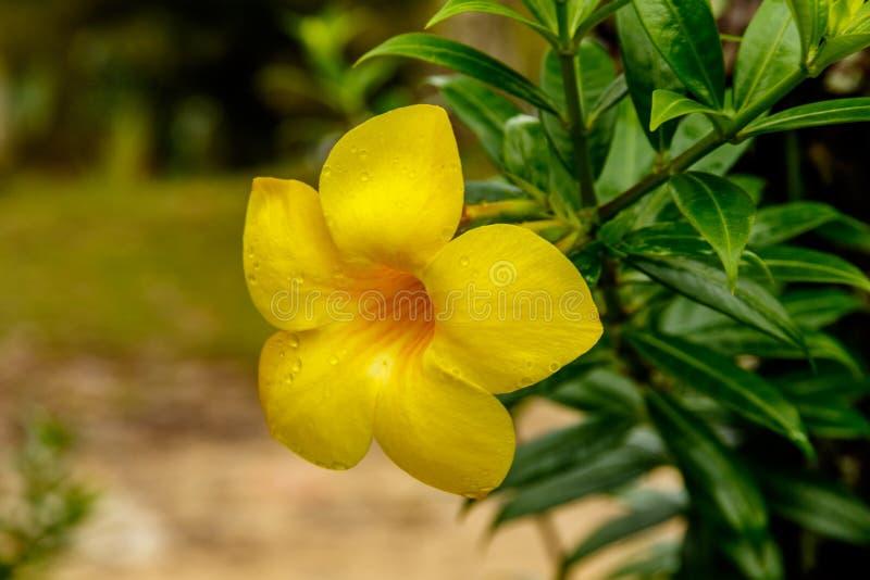 Zbliżenie Złotej trąbki okwitnięcie w Tajlandia fotografia stock