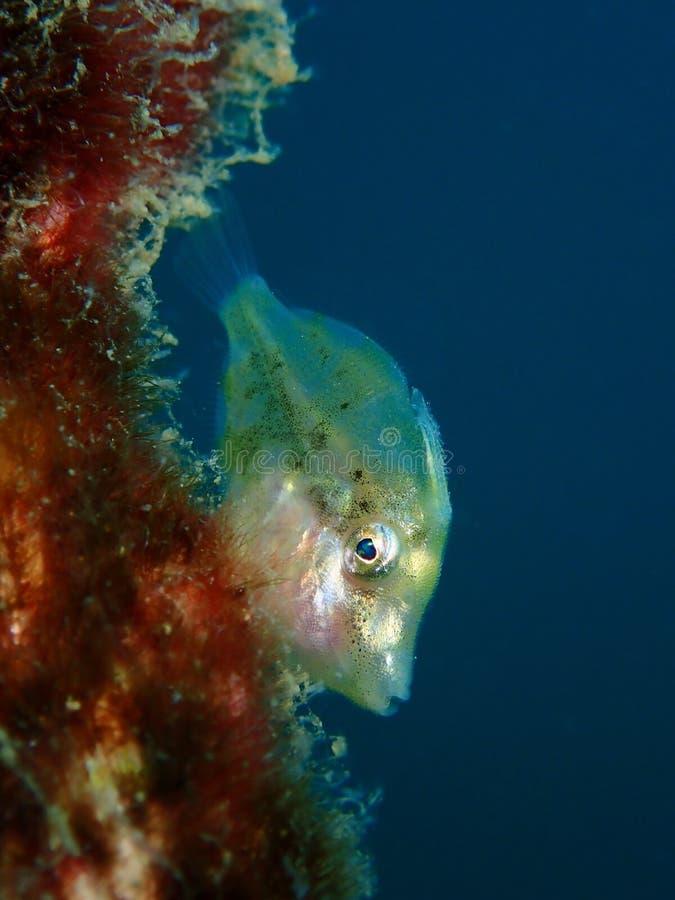 Zbliżenie z nieletnią jednorożec rybą piękno podwodny światowy pikowanie w Sabah, Borneo zdjęcia stock