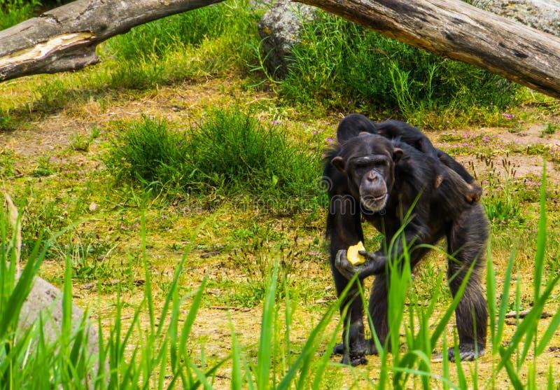 Zbliżenie zachodniego szympansa mienia przewożenie i jedzenie młody szympans na swój plecy, krytycznie zagrażający zwierzęcy spec obrazy royalty free