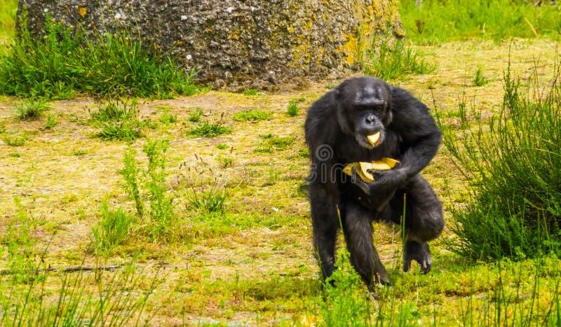 Zbliżenie zachodniego szympansa zbieracki jedzenie, zoo zwierzęcy karmienie, Krytycznie zagrażał prymasu specie od Afryka zdjęcia stock