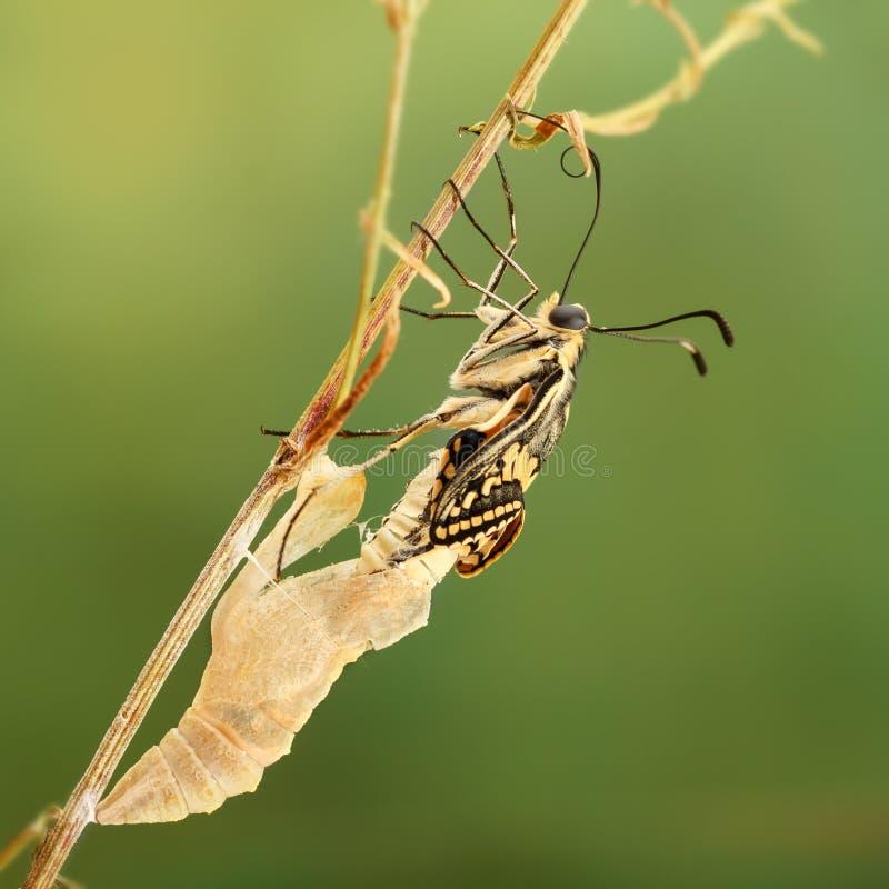 Zbliżenie zadziwiający moment o motylim machaon wyłania się od chryzalidy na gałązce na zielonym tle Płytki DOF obraz stock