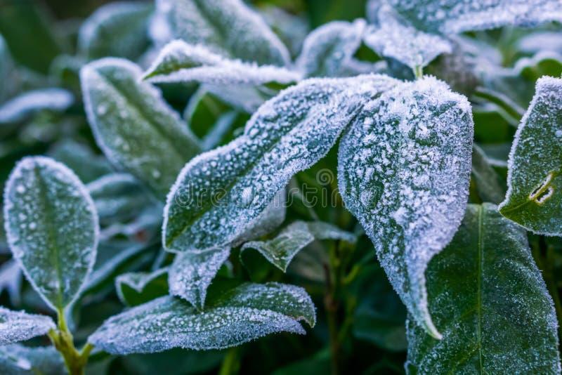 Zbliżenie zamarznięci liście zakrywający z lodowymi kryształami, boże narodzenia i zima, przyprawiamy tło zdjęcia royalty free