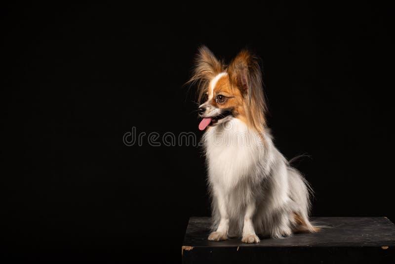 Zbliżenie Zaskakiwał Białego Papillon psa na czarnym tle obrazy royalty free