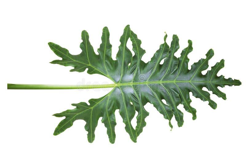 Zbliżenie zielona liścia Alocasia portei tekstura na białym tle zdjęcie royalty free