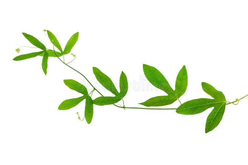 Zbliżenie zielona passionflower gałąź z tendrils odizolowywa fotografia stock
