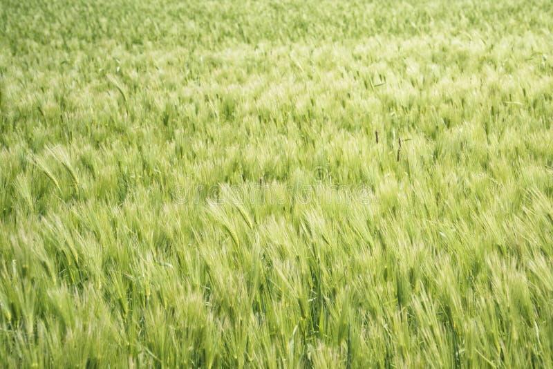 Download Zbliżenie Zielony Jęczmienia Pole Obraz Stock - Obraz złożonej z trzon, wiejski: 53787233
