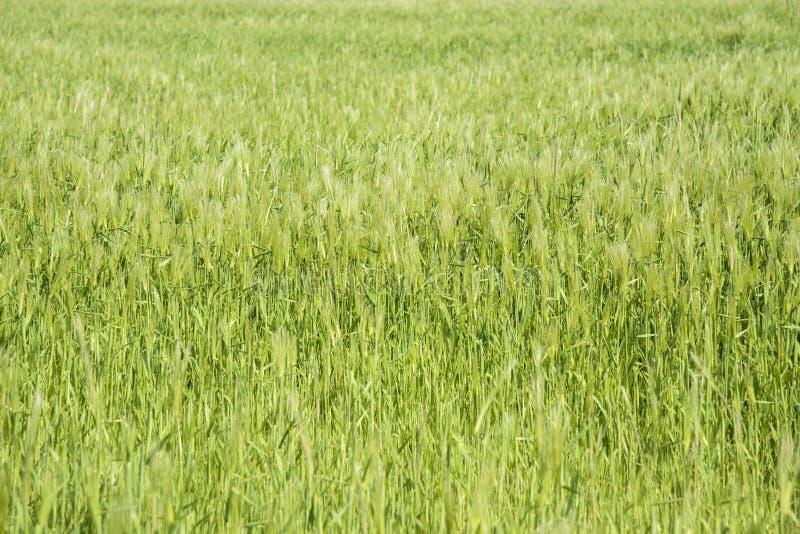 Download Zbliżenie Zielony Jęczmienia Pole Zdjęcie Stock - Obraz złożonej z zbliżenie, jedzenie: 53787322