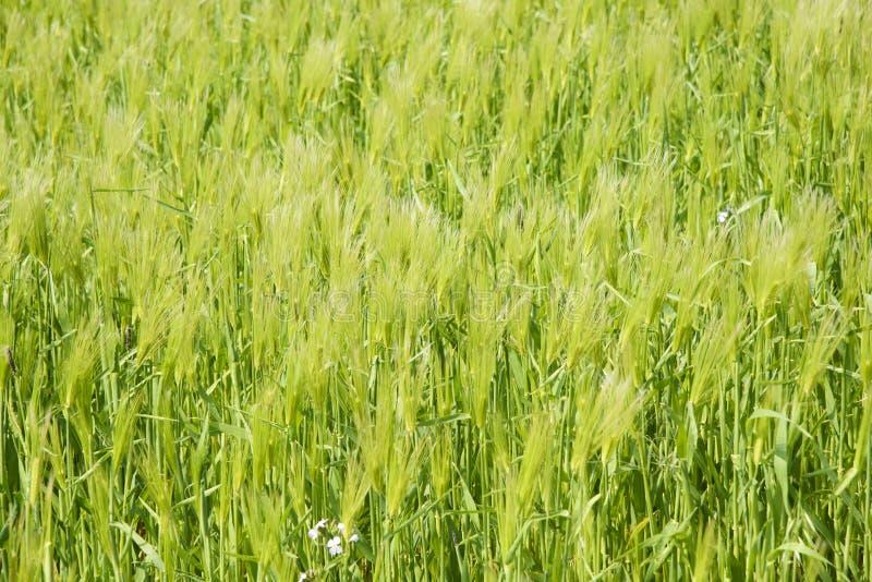 Download Zbliżenie Zielony Jęczmienia Pole Obraz Stock - Obraz złożonej z roślina, greenbacks: 53787331