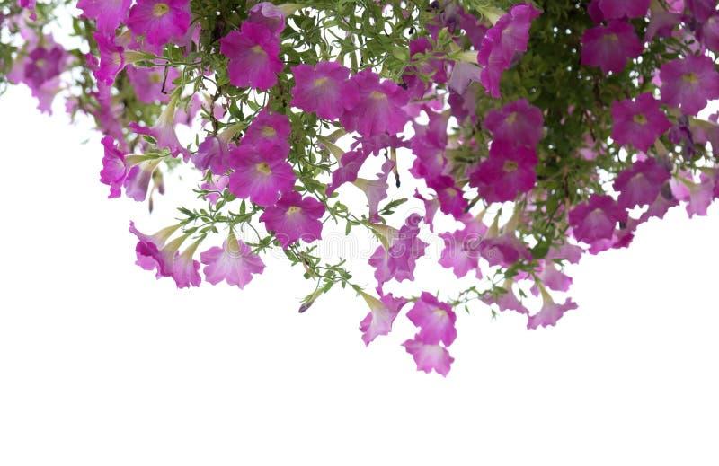 Zbliżenie Zielony liść i menchia kwiat odizolowywający na białym tle kartoteka z ścinek ścieżką obraz royalty free
