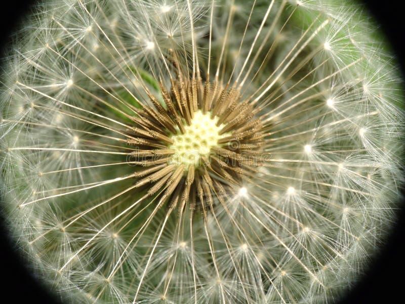 Zbliżenia dandelion ziarno