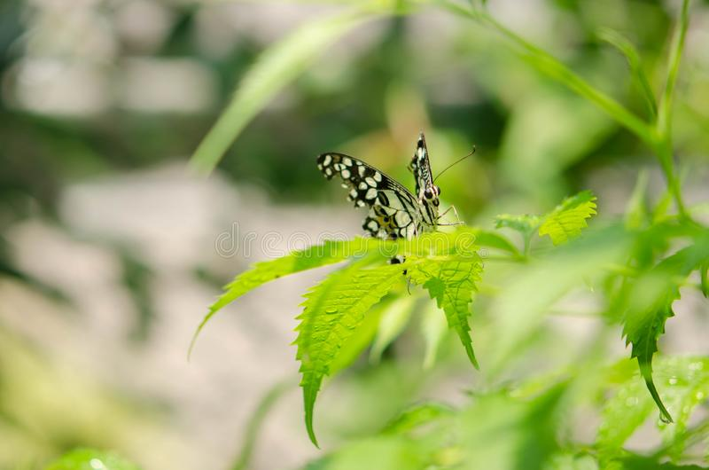 Zbli?enie czarny i bia?y motyl na zamazanym zielonym li?cia tle zdjęcia royalty free