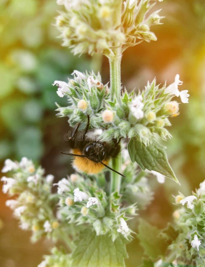 Zbli?enie ogrodowy bumblebee lub ma?y ogrodowy bumblebee, Bombus hortorum zbieracki nektar od melissa kwitnie zdjęcie stock