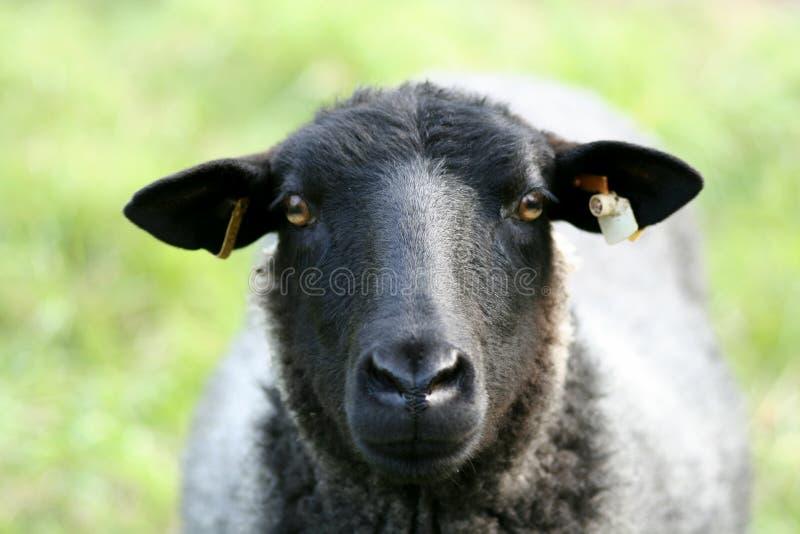Download Zbliżenie owce obraz stock. Obraz złożonej z hayloft, czerń - 127763