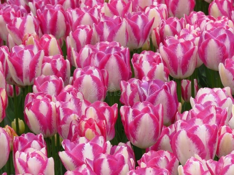 zbli?enie Zadziwiaj?cy brzoskwini okwitni?cia bielu menchii tulipany odpowiadaj? strza? Pi?kny wiosna kwiat w pogodnym wiosna dni obraz royalty free