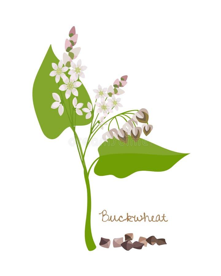 Zboża, legumes i rośliny, Gryka z kwiatem, liśćmi i adra, royalty ilustracja