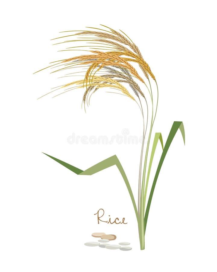 Zboża, legumes i rośliny Rice z liśćmi i adra royalty ilustracja