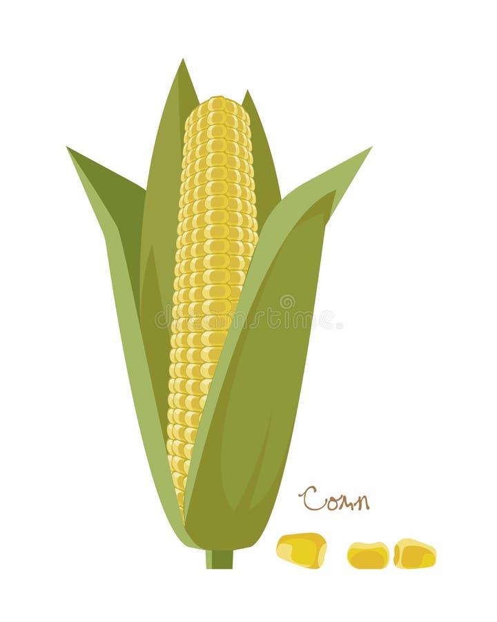 Zboża, legumes, rośliny Dojrzali kukurydzani cobs z liśćmi i adra royalty ilustracja