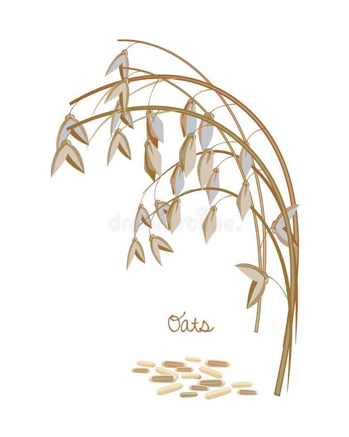 Zboża, legumes, rośliny Spikelet owsy z liśćmi, trzonami i adra, ilustracji