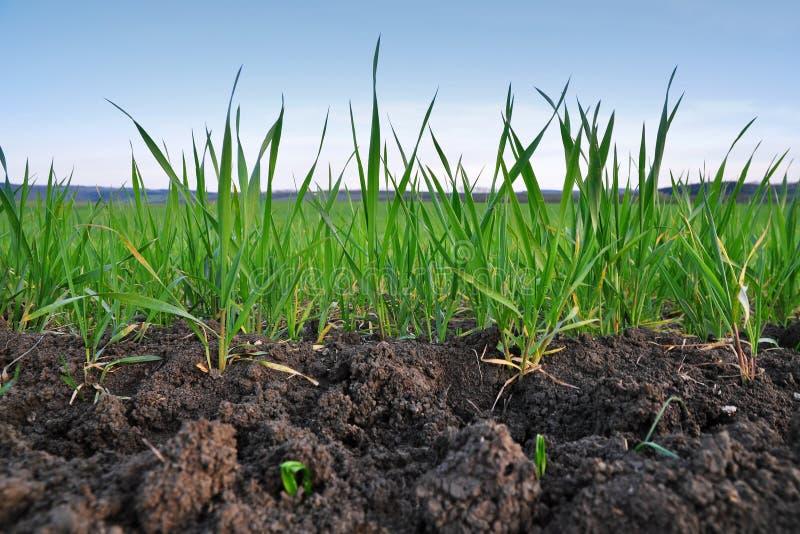 Zbożowego pola rolnictwo zdjęcie royalty free