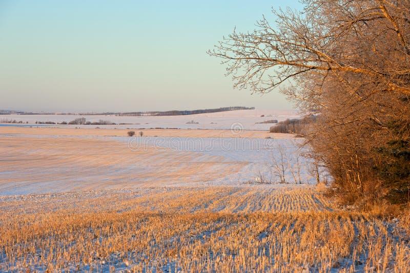 Zbożowi pola przy wschodem słońca w zimie zdjęcie royalty free