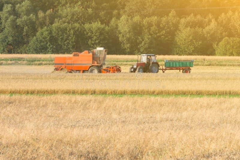 zbożowy żniwiarz zbiera banatki na polu pod gorącym słońcem, pszeniczny pole, pszeniczny zbierać fotografia royalty free