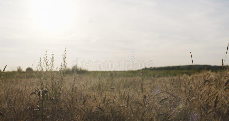 Download Zbożowy Pole Z Banatką Lub żytem Przygotowywającymi Dla żniwa Obraz Stock - Obraz złożonej z roślina, chleb: 57665497