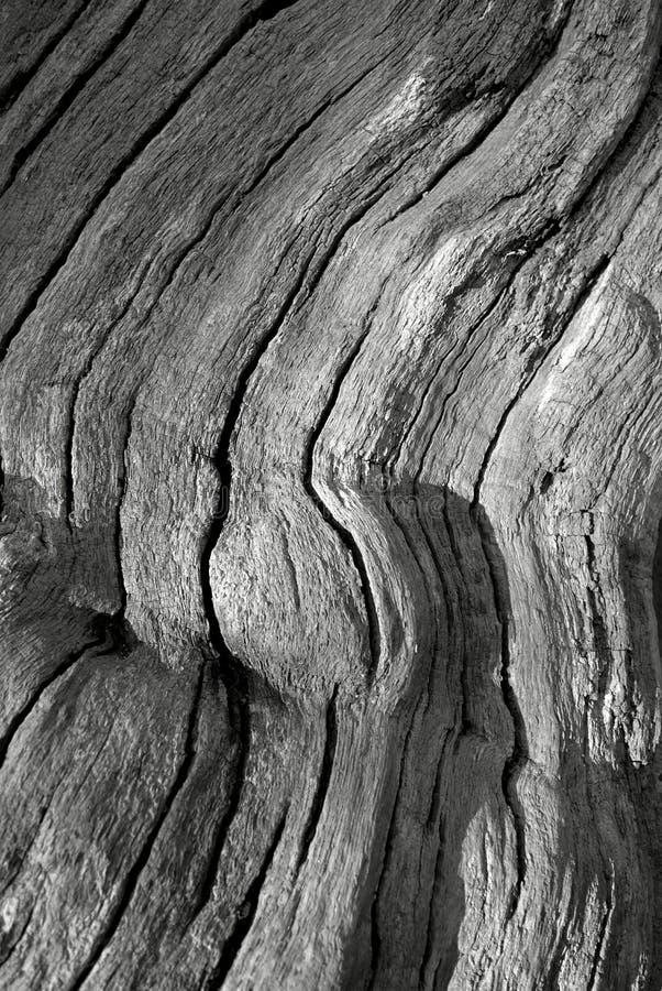 zbożowy szczekać drzewo. fotografia royalty free