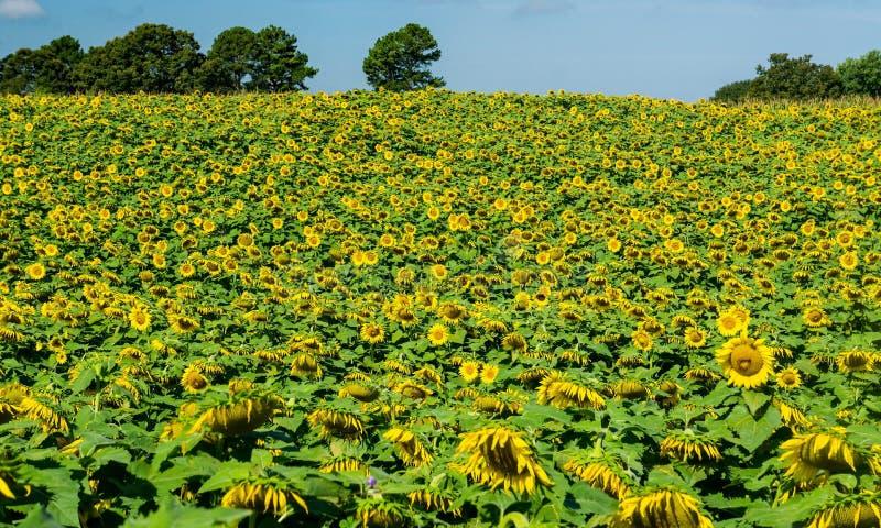 Zbocze Gigantyczni słoneczniki obrazy royalty free