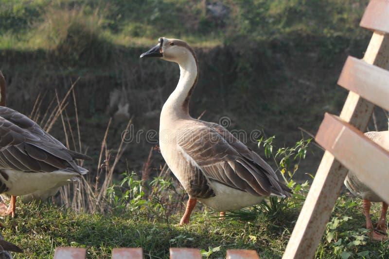Zdjęcie kaczek w Bangladeszu fotografia royalty free