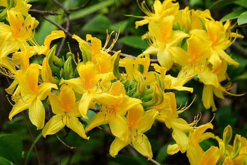 Zdjęcie zamykające kwiat Yellow Azalea, nazwa łacińska Rhododendron Luteum, w pełnym zakwicie fotografia stock