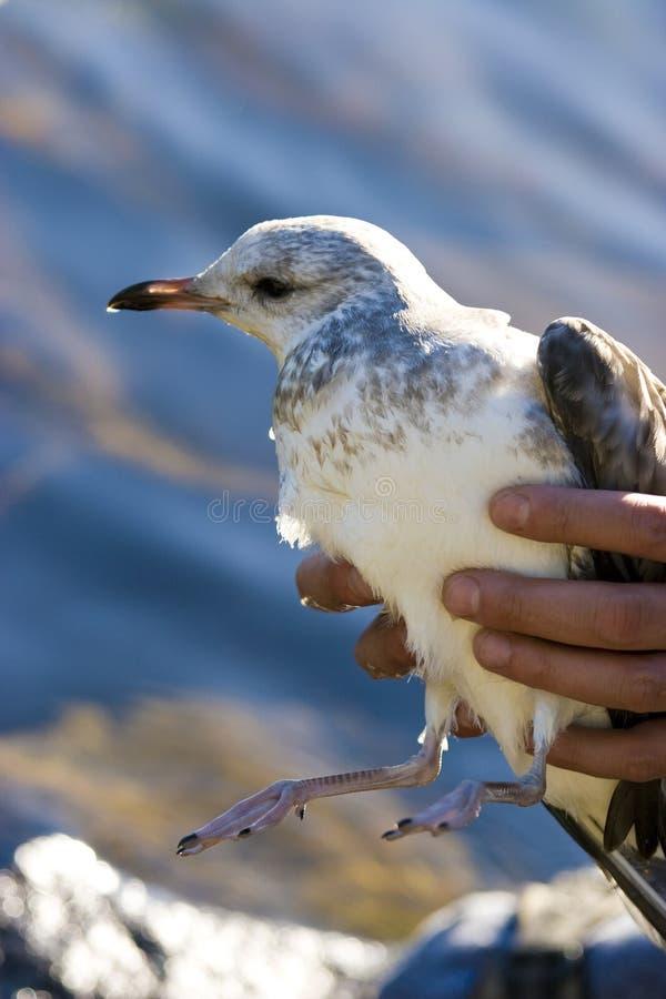 zdradzony seagull obraz royalty free
